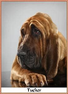 bloodhound puppies ohio 17 best images about bloodhounds on bloodhound puppies photographs and