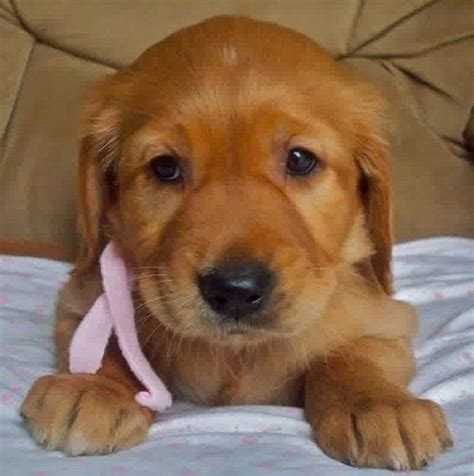 golden retriever lab mix for sale 12 best rebel images on golden retriever puppies animals and puppies for sale