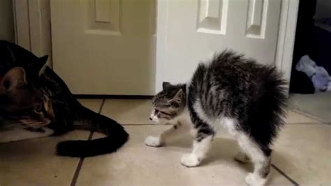 how to introduce a cat to a introducing a kitten to an cat