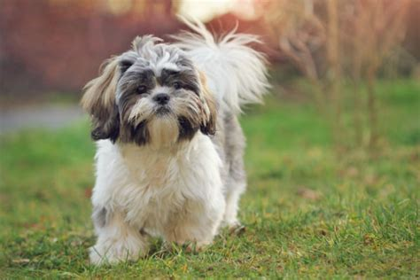 how many puppies can a shih tzu 9 facts about the shih tzu breed american kennel club