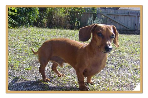 weiner puppy walking dachshund photo and wallpaper beautiful walking dachshund pictures