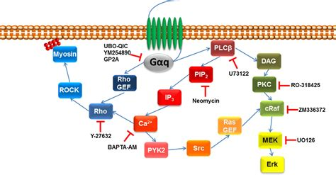 g protein q frontiers structure function pharmacology and
