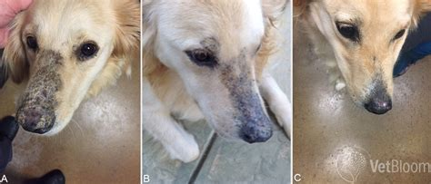 pu pd in dogs pemphigus foliaceus vetbloom