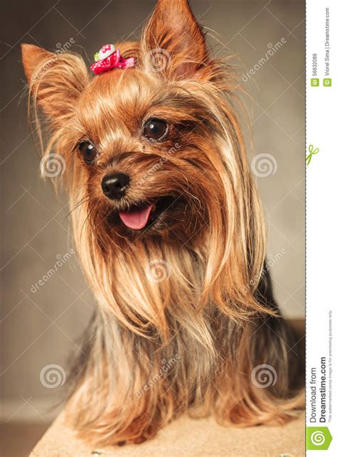 yorkie panting happy terrier puppy panting stock photo image 56632086