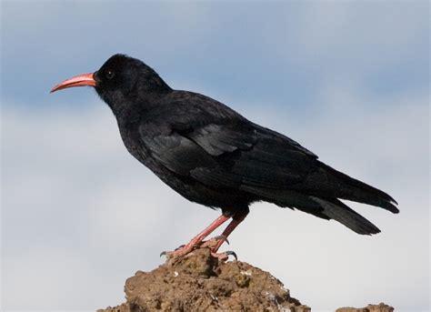 Red Billed Chough Wikipedia Black Bird