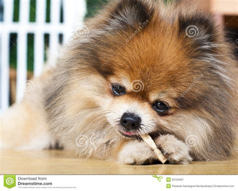 pomeranian foods to eat pomeranian puppies breeds picture