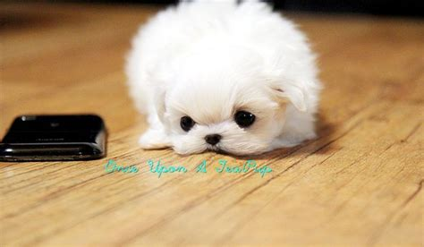 when is a pomeranian grown micro teacup pomeranian grown search animals micro