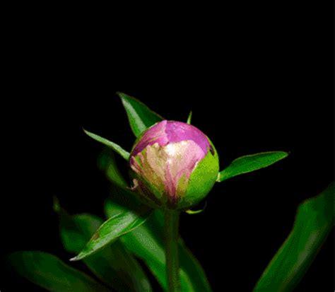 gif fiori