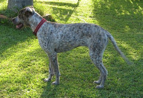 setter dog short hair pepper medium female short haired english setter mix in