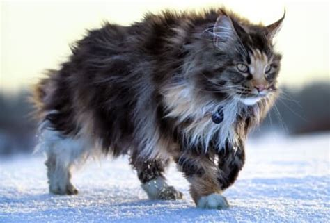 Maine Coon Quotes