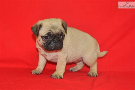 pug nose puppies for sale meet buttercup a pug puppy for sale for 1 000 akc pug fawn quot buttercup