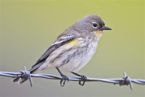 file mikebaird yellow rumped warbler audubon s