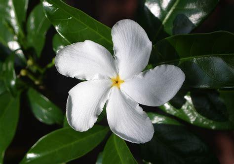 photos of flowers photos of colombia flowers tabernaemontana divaricata