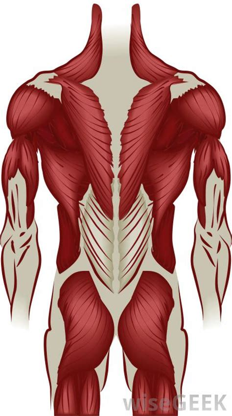 thorax muscles
