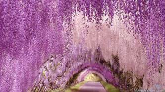 wisteria in japan wisteria flower tunnel unknown world