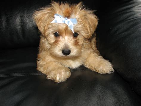 white morkie puppies stunning apricot white designer morkie pups liverpool merseyside pets4homes