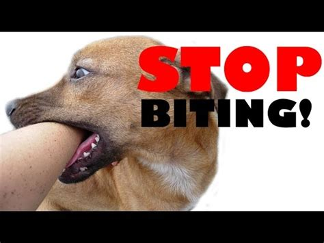 how to not to bite how to your puppy not to bite tutorial find