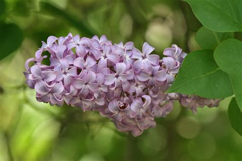 lilacs flowers the castle bromwich hall gardens blog plant of the month