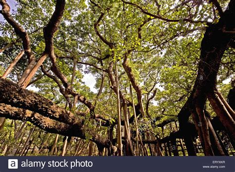 Botanical Garden Shibpur Banyan Ficus Bengalensis Tree At Botanical Garden Shibpur Stock Photo Royalty Free Image