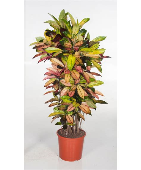 buy large house plants online beautiful indoor plants online images amazing house decorating ideas neuquen us