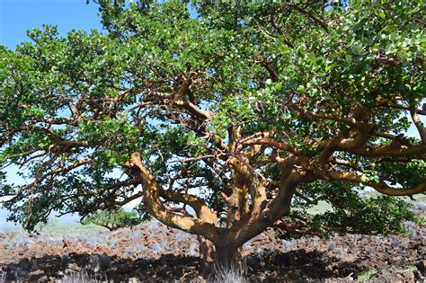 hawaii tree division of forestry and wildlife wiliwili tree from