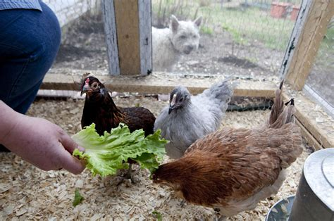 Town Of Waterford To Discuss Allowing Chickens In Backyard Chickens