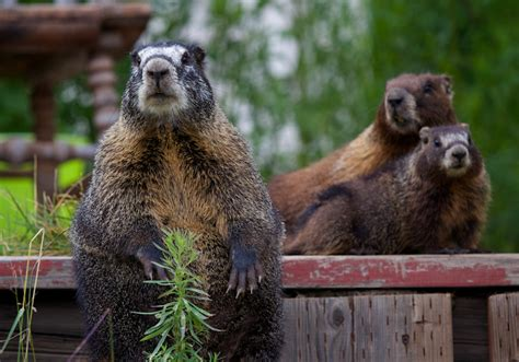 groundhog day japanese why groundhog day now elevates science superstition