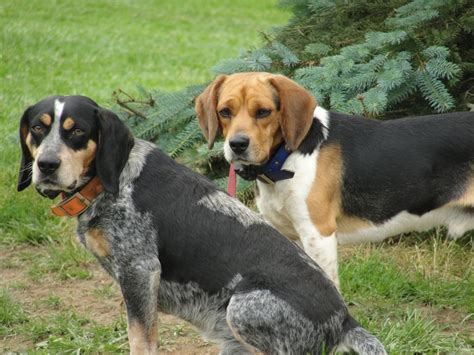 bluetick beagle puppies for sale pin blue tick beagle on