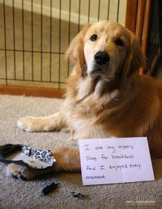 when do golden retrievers stop chewing dogs and shoes on skate shoe slippers and scottie dogs