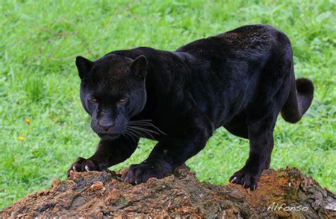 imagenes del jaguar jaguar negro flickr photo sharing