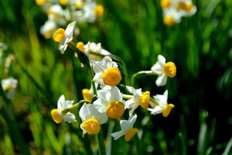 specie di fiori le 5 specie di narciso presenti in italia il fiore che