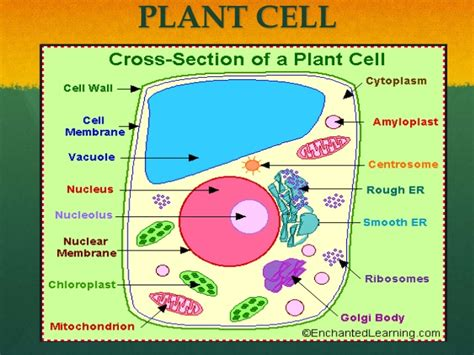 cross section of an plant cell 6 1 visuals power point