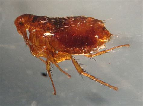 how to check for fleas fleas in bedding bedding sets collections