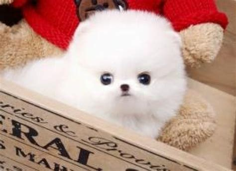adopt a teacup pomeranian teacup pomeranian puppies for adoption charming teacup pomeranian puppies for