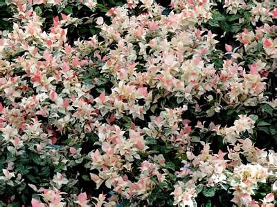buy snow n summer asian jasmine trachelospermum