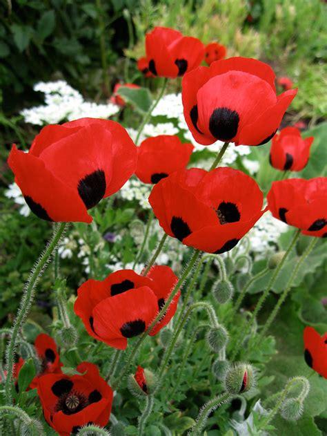 buy poppy flowers online