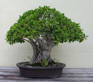 ficus benjamina basic care  bonsai