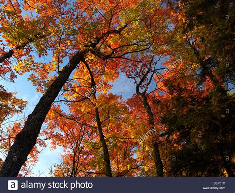 colorful trees beautiful maple trees with colorful leaves fall nature