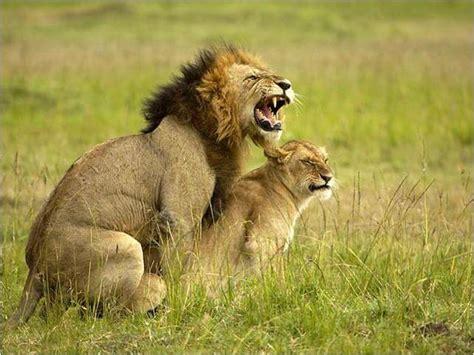 imagenes de leones reproduciendose la esfera biol 243 gica instintos y deseos antropolog 237 a