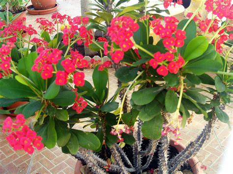 Garden Flowers And Plants Euphorbia Milii Pesquisa Euphorbia Euphorbia Milii Flowers And Plants