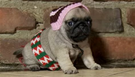 pug home alone home alone re enacted by a pug puppy