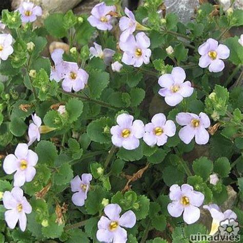 hang planten bloemen buiten bacopa of sutera is een ideale kuipplant voor in hanging