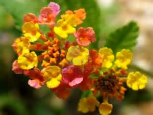 flower picture lantana flower picture