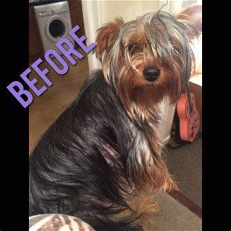 before and after pics of yorkie haircuts yorkie before haircut puppies pinterest hair yorkie