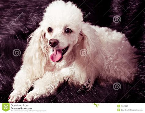 white poodle puppy white poodle puppy royalty free stock photography image 29847227