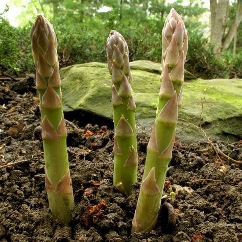 Containers For Vegetable Gardening - asparagus growing calendar