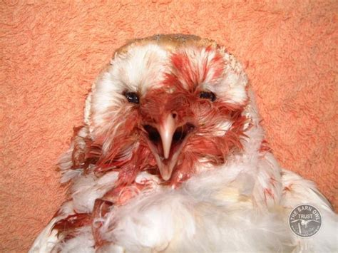 what to do if a eats rat poison background to the rat poison problem the barn owl trust