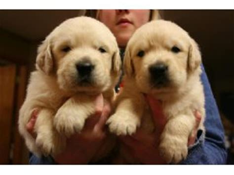 golden retriever puppies for sale manchester golden retriever puppies for sale quality golden retriever puppies