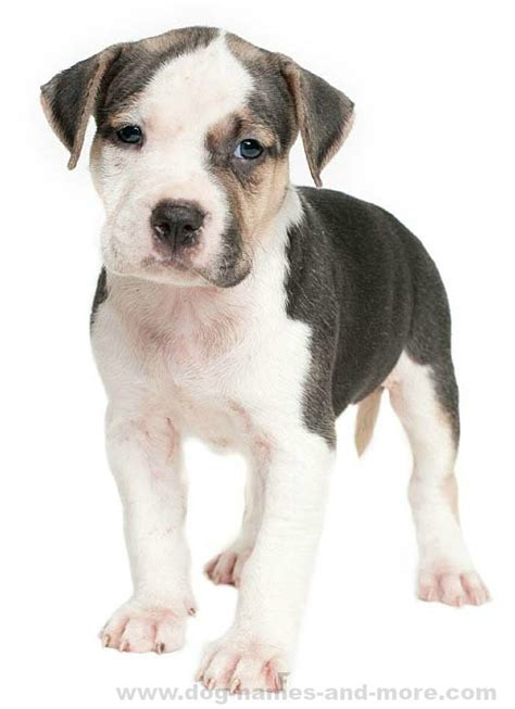 pitbull puppy names pit bull names top ideas for your boy pitbull