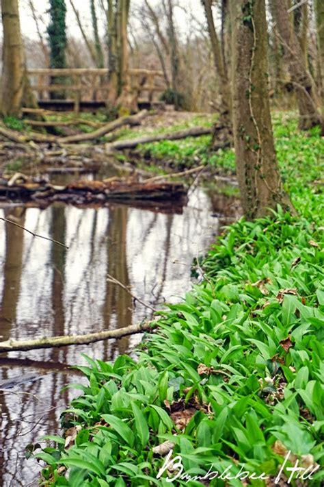 Bärlauch Im Garten 3914 by Bumblebee Hill B 228 Rlauchpesto
